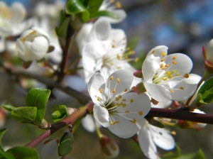 kirsipuu