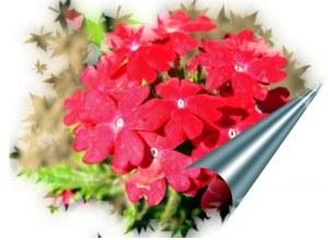lilled - fototöötlus, Priit Aasmäe