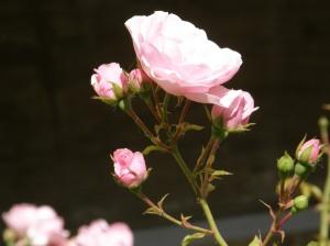kõik roosid ma kingiksin Sulle....