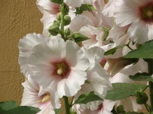 lilled aeda istutamiseks