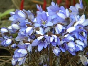 metsalilled õitsevad - sinililled