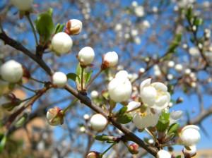 õunapuu õitseb