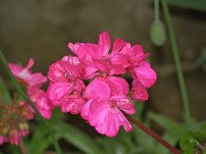imelised lilled