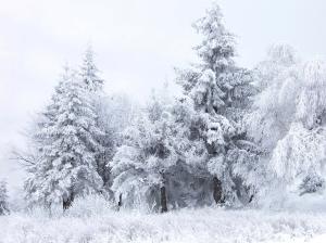 kuusepuud lumised