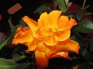 taustapildid roosidest