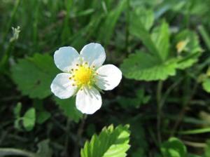 Ilus lilleõis