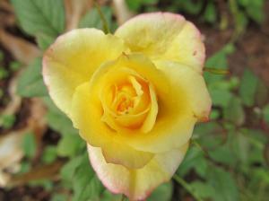 Kollased roosid