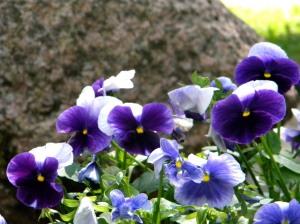 Sinised lilled õitsemas