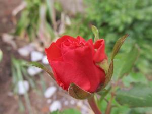 Punane roos - armastuse sümbol