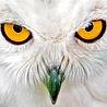 Kurjad silmad - kotkas